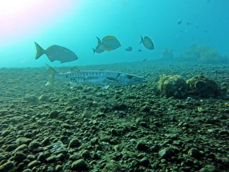 Barracuda di wreck Tulamben