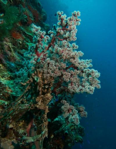 Seafan Siphonogorgia. Nah ini juga belum ada bahasa umumnya