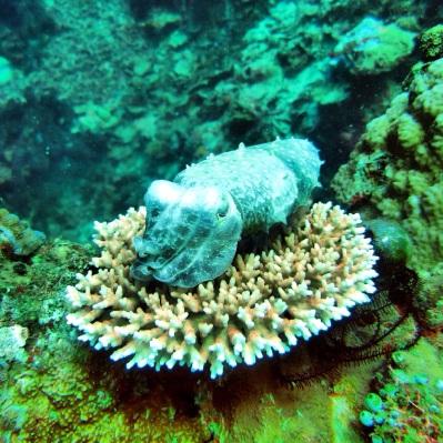 Cuttle fish. Bukan macro sih ini hehe