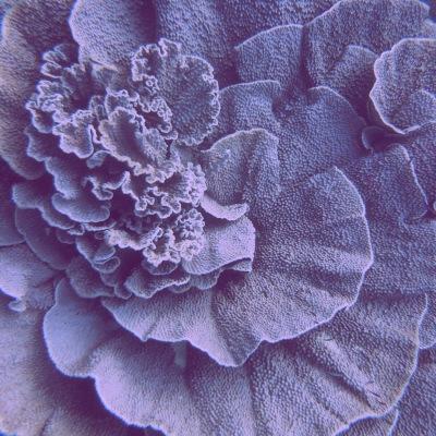 Rose coral seperti ini di Parigi banyak. Dan ada dive site isinya rose coral seluas 2 kali lapangan bola