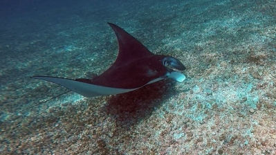 Manta di dive site Taka Makassar. Photo by Akip Wijaya
