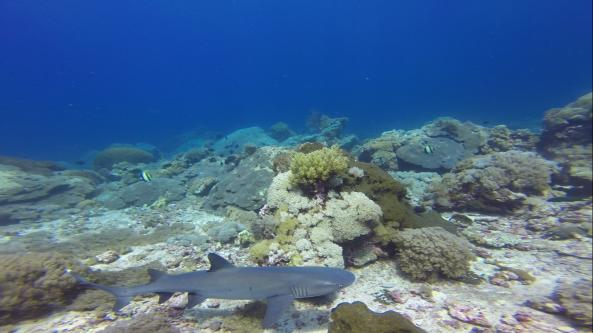Ada 2 hiu bermain di depan kami di kedalaman 10 meter